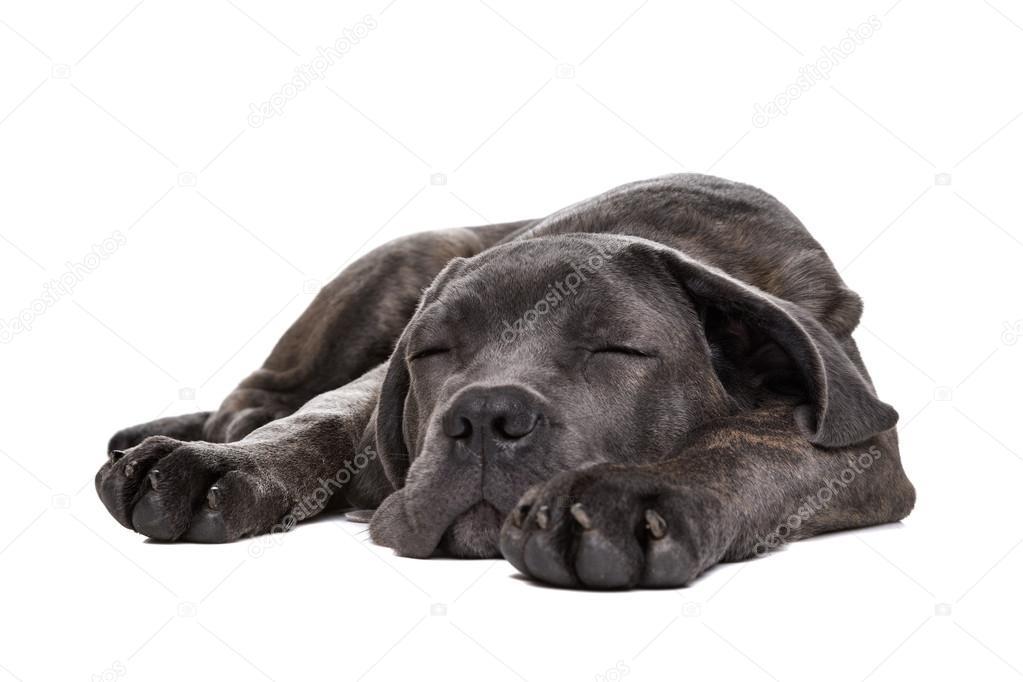 Grey Cane Corso Puppy Dog Stock Photo Eriklam 59092795