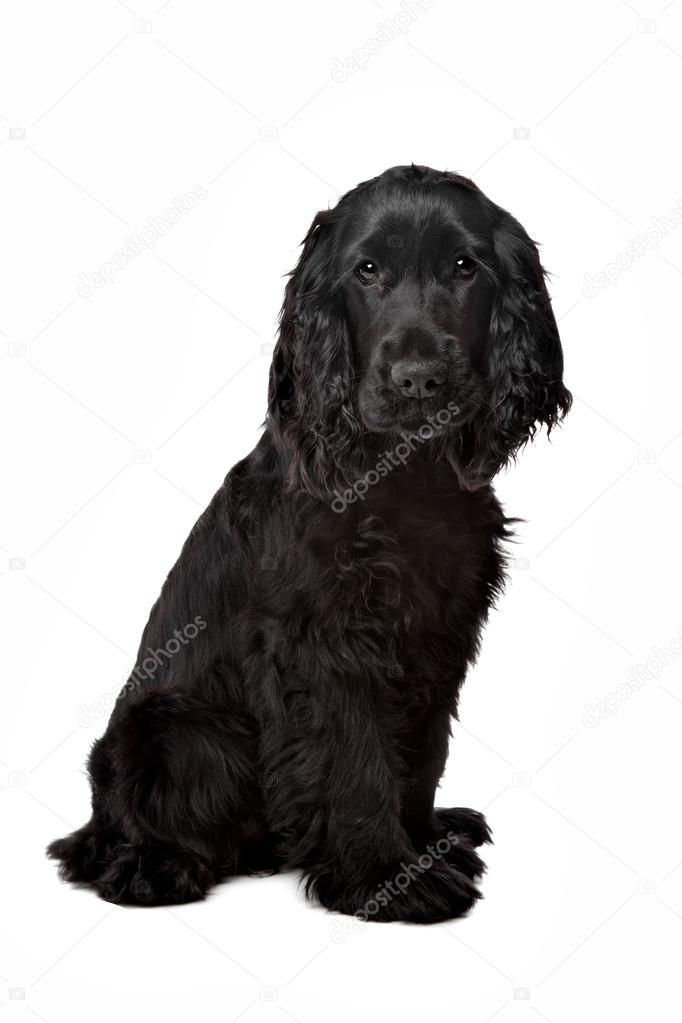 cocker spaniel svart