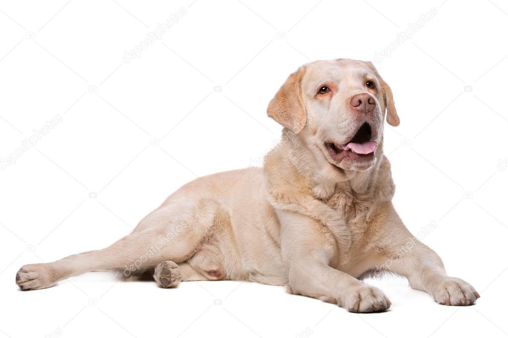 Perro Labrador color beige — Fotos de Stock © eriklam #78235448