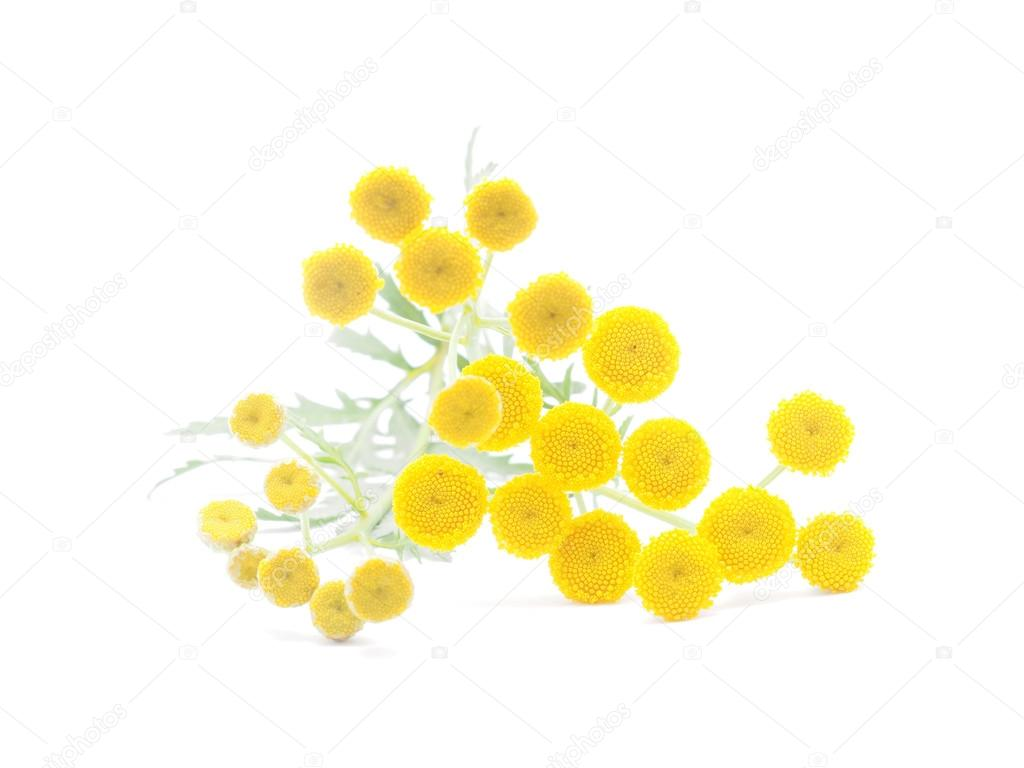 tansy flowers on a white background