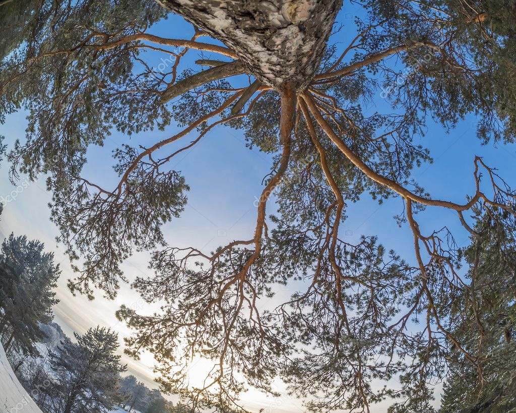 crown pine winter
