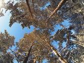 alberi dal basso verso lalto in una foresta di pini in inverno