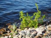 Fotografie Pflanzen Sie am Ufer des Sees