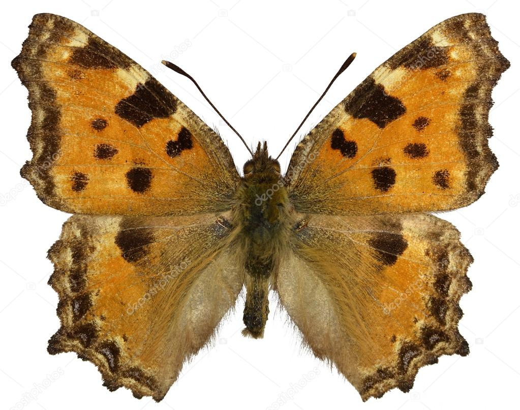 孤立した気腫疽 Tortoiseshel 蝶...