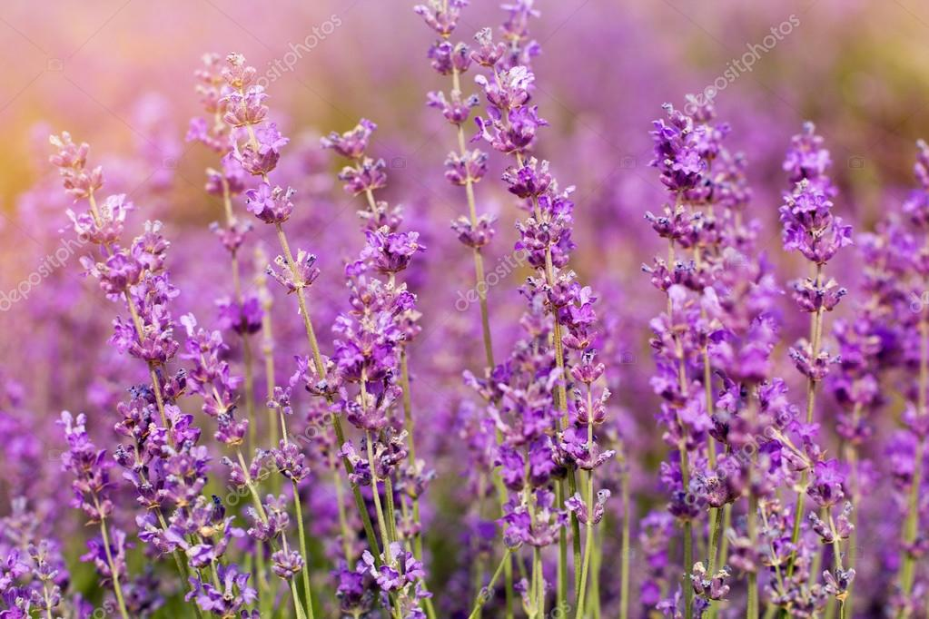 Purple fields of lavender flowers, sunset time