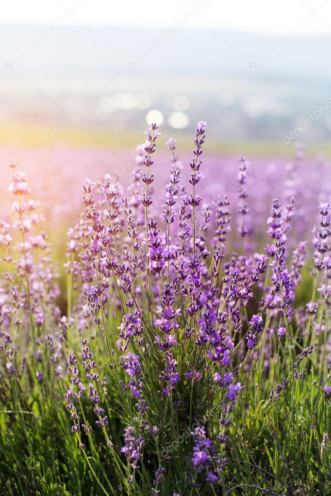 Closeup picture of lavender flowers, sunset time in Crimea