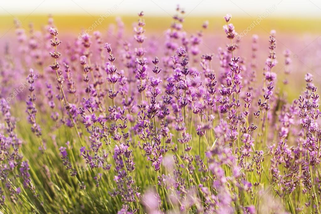 Closeup picture of lavender flowers