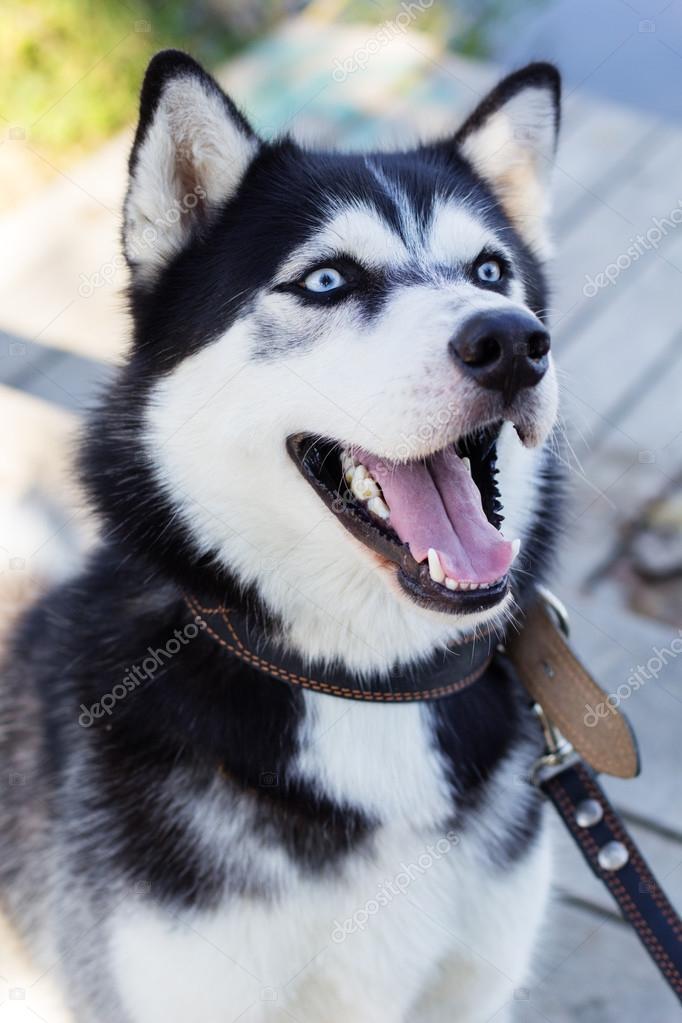 Pies husky syberyjski czarno bia y z niebieskimi oczami - Husky con occhi diversi ...