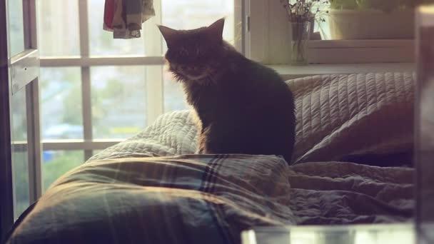 Velká Maine Coon kočka sedí na posteli na slunci a myje v vzepjatý. 1920 x 1080