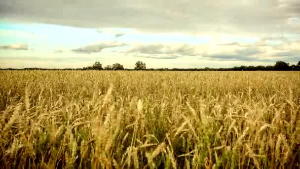 Timelapse of golden wheat field in sunny day. 4k. 3840x2160