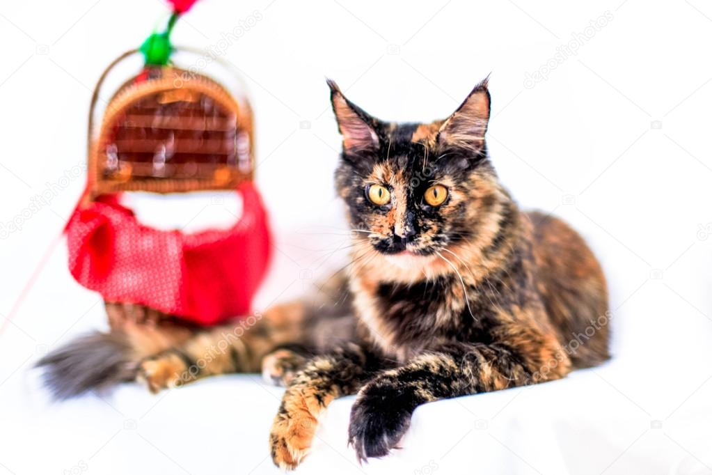 panier chat maine coon