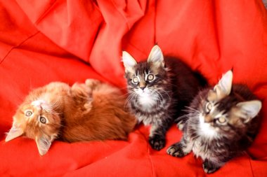 Maine Coon kittens on red sofa