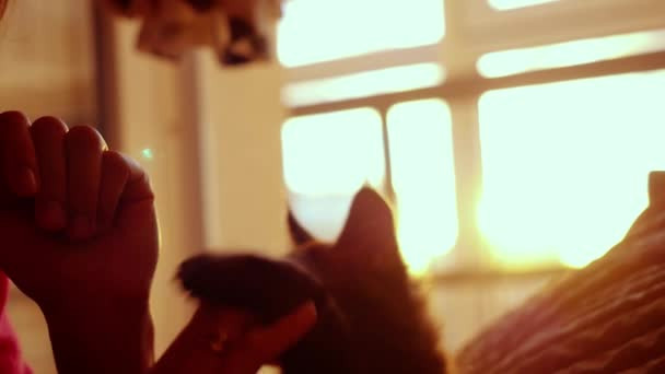 Woman plays with little kitten on a sunset background on the bed in slowmotion. Happiness. 1920x1080