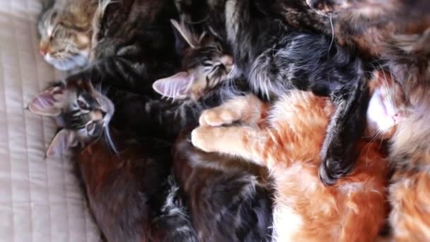 Maine Coon Cat and kitten hug and sleep in the bed. 1920x1080