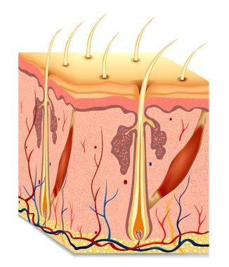 Human hair structure anatomy illustration. Vector