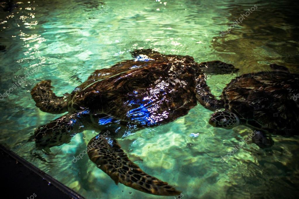 Sea turtles in oceanarium
