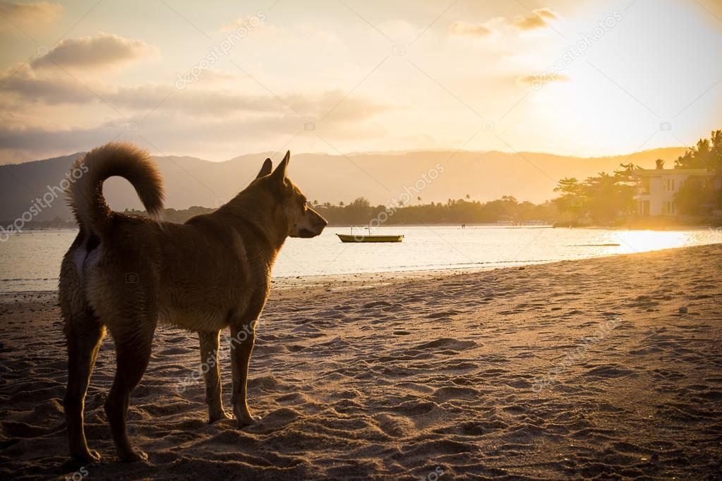 Dog on beach looking sunset.
