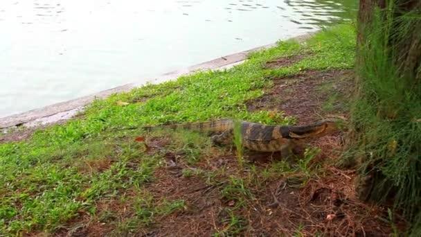 Water monitor in green park, Bangkok, Thailand. HD. 1920x1080