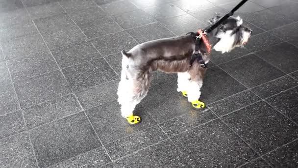Pes nosí boty na všechny čtyři tlapky na ochranu. HD. 1920 x 1080