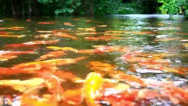 Koi ryb v rybníku krmení. Zblízka. Rozmazané pozadí džungle. HD. 1920 x 1080