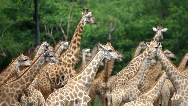 Állomány a zsiráfok egy szafari park. Bangkok, Thaiföld. HD. 1920 x 1080