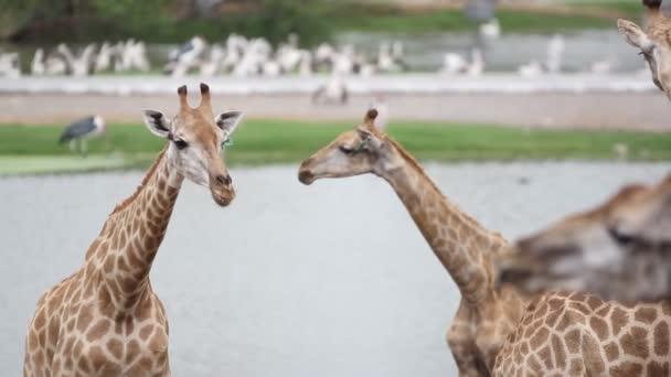 žirafy v zoo safari parku. Změny se zaměřují na pelikánů. HD. 1920 x 1080
