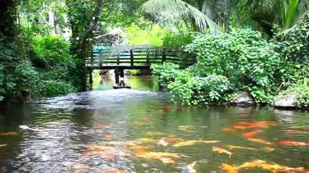 Koi fishes feeding in a pond and beautiful jungle background with bridge. HD. 1920x1080
