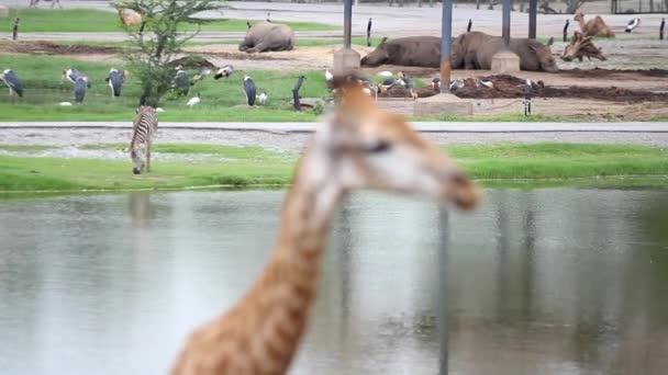 hrochy, zebry safari park se změnou zaměření žirafa, pelikánů. HD. 1920 x 1080