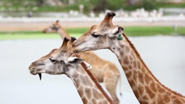 žirafy v zoo safari parku. HD. 1920 x 1080