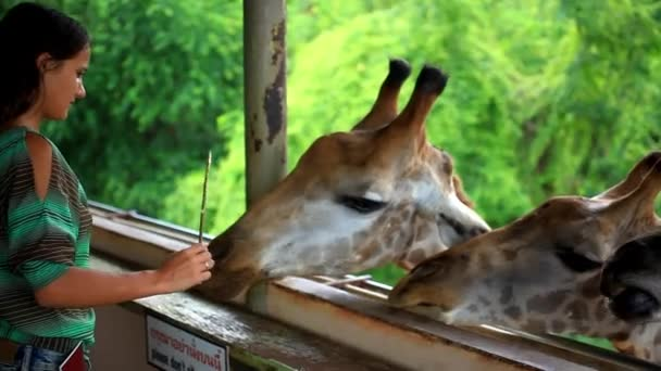 Nő hírcsatornák zsiráfok Safari park. Bangkok, Thaiföld. HD. 1920 x 1080