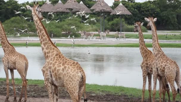 zebras, giraffes and pelicans soaring over the pond in safari park. HD. 1920x1080
