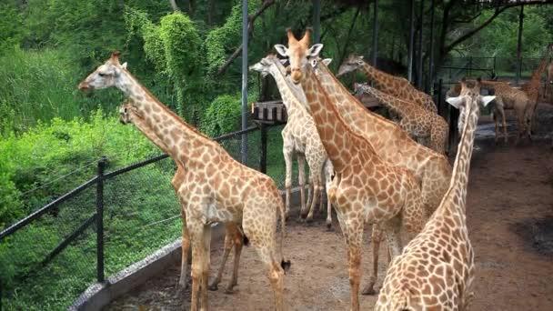 Stádo žiraf v Safari parku. Bangkok, Thajsko. HD. 1920 x 1080