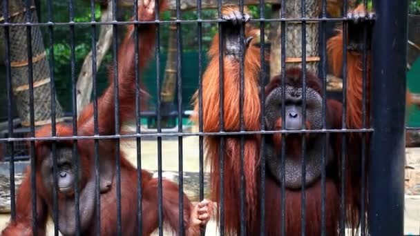 gorillas in cage close up. HD. 1920x1080