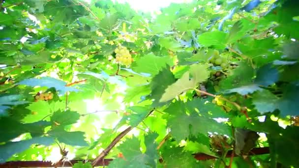 Bunch of grapes on grapevine at sunlight. HD. 1920x1080
