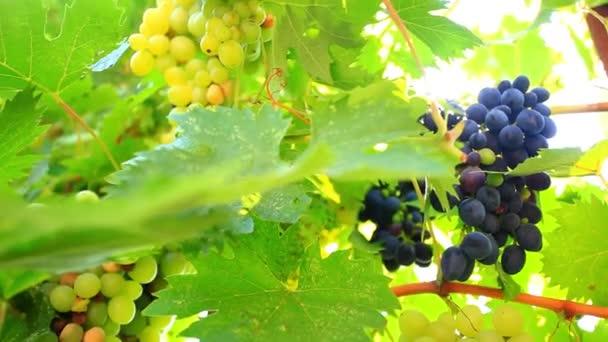 Zralé víno hrozny a slunce ráno. HD. 1920 x 1080