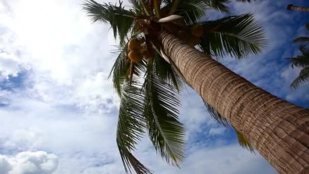 Palma s kokosem na modré obloze