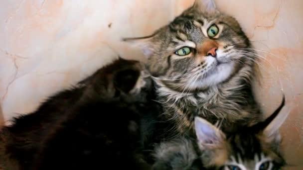 Cica és a nagy macska csókok és nyalás együtt. Maine coon családi szeretet. HD. 1920 x 1080