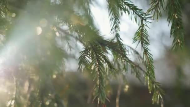 Jedle větve na pozadí krásné slunce v zimě s čočka odlesk účinky