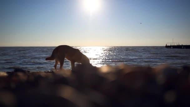 zatoulaný pes žere ryba na pláži při západu slunce na pozadí rozmazané bokeh