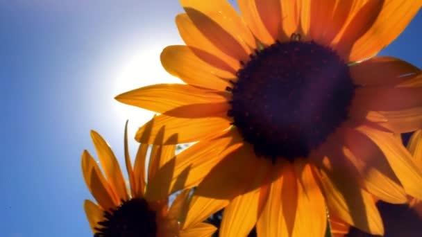 Slunečnice proti modrému nebi a slunci se rozzáří květy