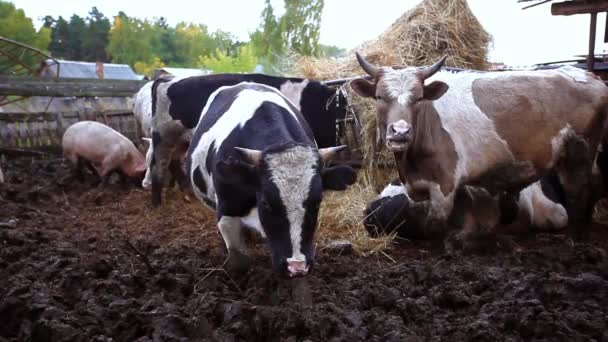 cows and pigs graze on a farm