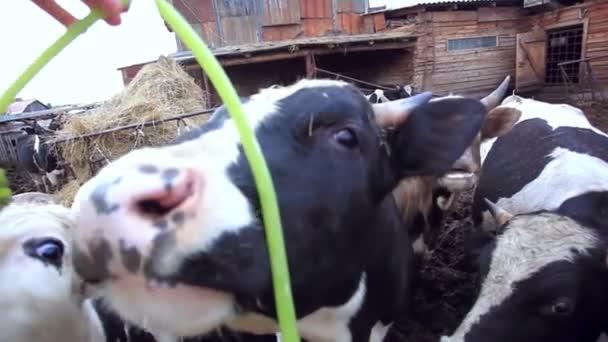Vacche da latte e suini al pascolo in una fattoria