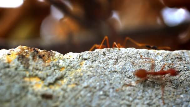 Červení mravenci nosit vlastní jídlo larva