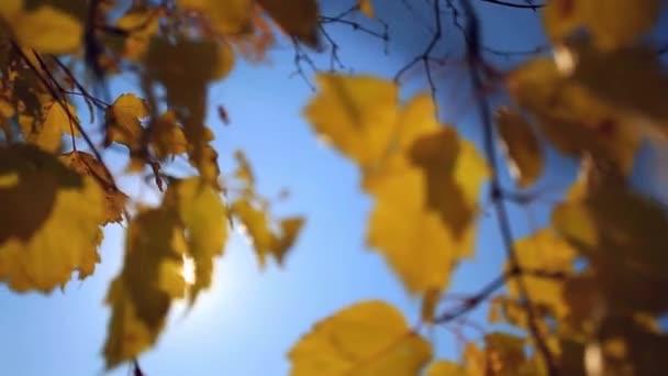 Őszi birches sárga levelek, a nap és a háttérégbolt segítségével.