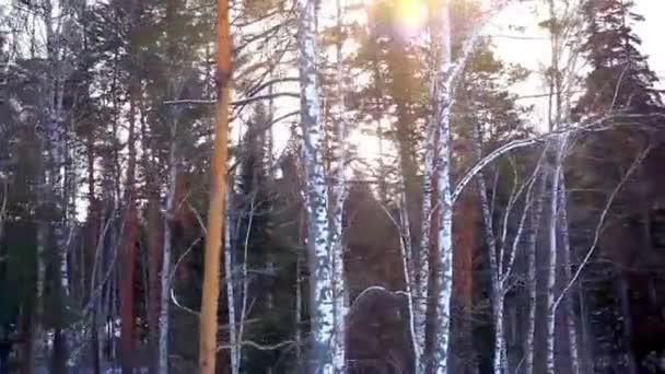 Zimní slunce v lese borovice a břízy. Slunečního světla mezi stromy