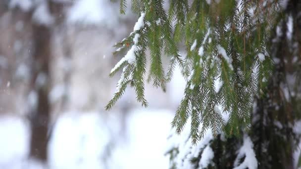 Zasněžené větev stromu v zimním období. Vánoční pozadí se zaměřením změny na rozmazané