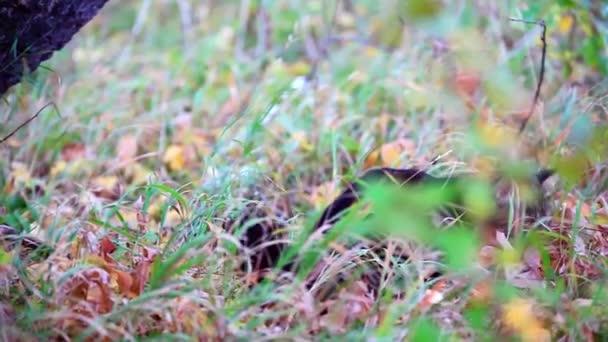 Nagy maine coon macska az őszi erdő a fa alatt