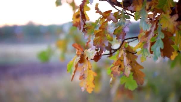 Dubu větve s podzimní listy. Krásné rozmazané pozadí
