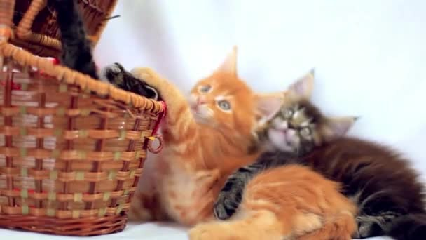 Three Valentine Maine Coon kittens sitting at basket move their heads back and forth on white background