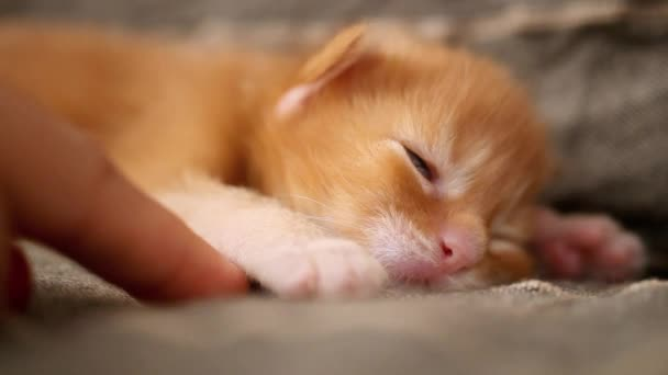 newborn kitten red Maine Coon sleeps and human finger touches his paw